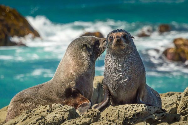 new zealand kaikoura fur seals istk