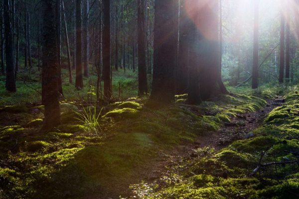 dalsland koppefjall forest sunlight dals ws
