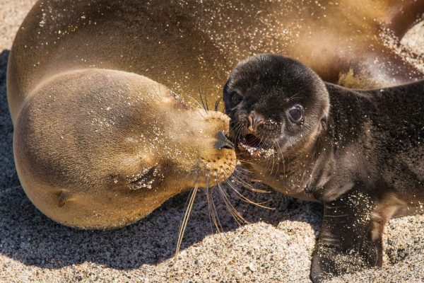galapagos sea lion mum and pup on sand istk