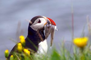 iceland north puffin feeding