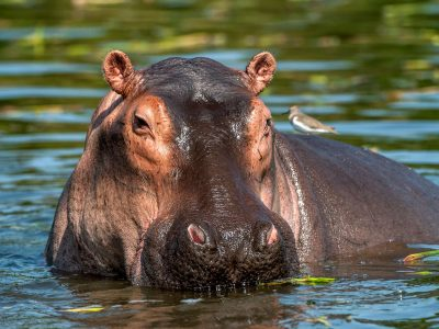 zambia common hippo in river istk