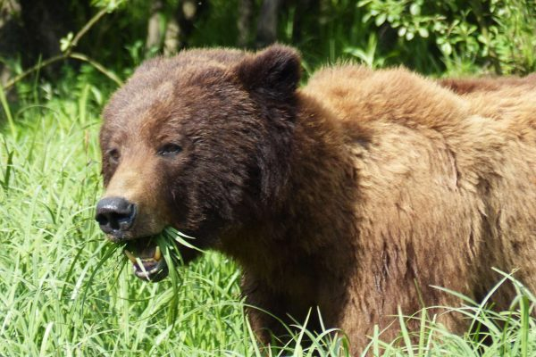 canada british columbia great bear rainforest brown bear bluewater lldtw
