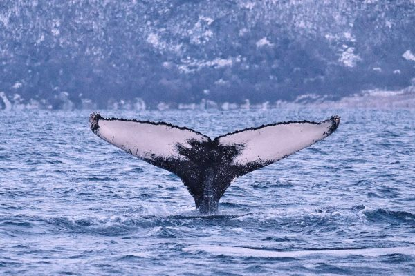 norway tromso humpback tail trmsaf