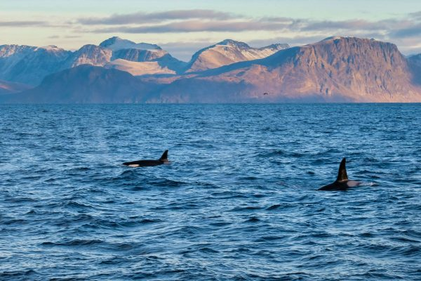 norway tromso two orca surfacing trmsaf
