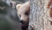 alaska katmai cub on a tree istk