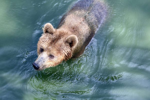 alaska katmai grizzly bear in river istk