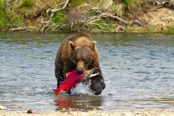 alaska katmai grizzly bear with salmon catch istk
