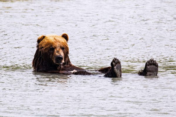 alaska katmai old grizzly bear bathing istk
