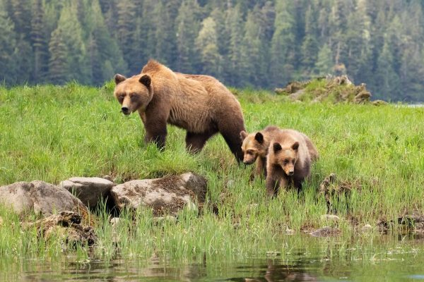 Mother grizzly bear and cubs