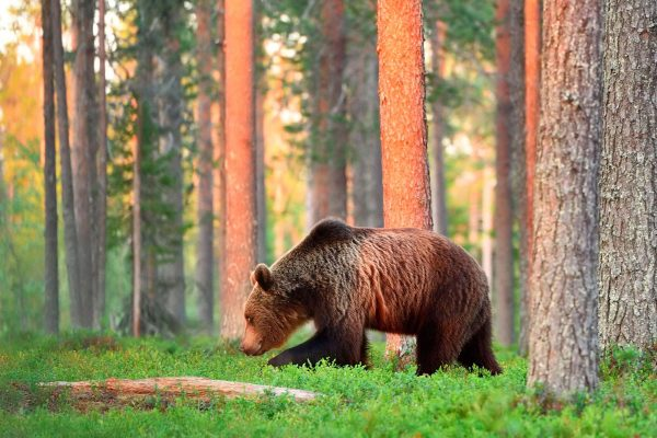 east finland brown bear in forest istk