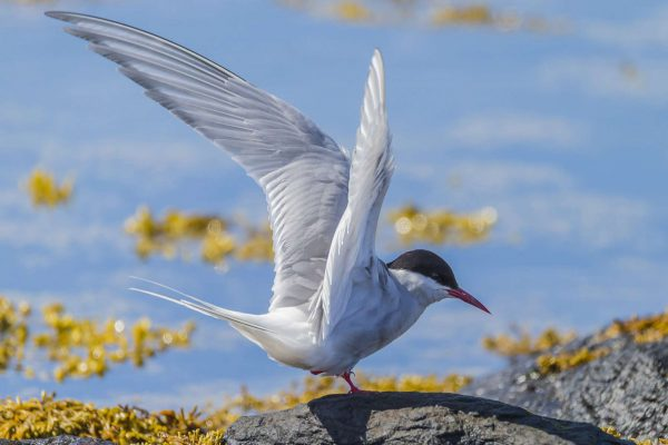 iceland birdlife arctic tern spreading wings rth