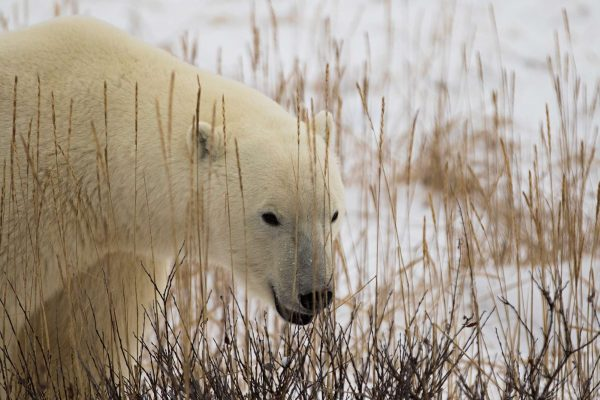 manitoba churchill polar bear close up tundra istk