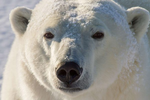 manitoba churchill polar bear face istk