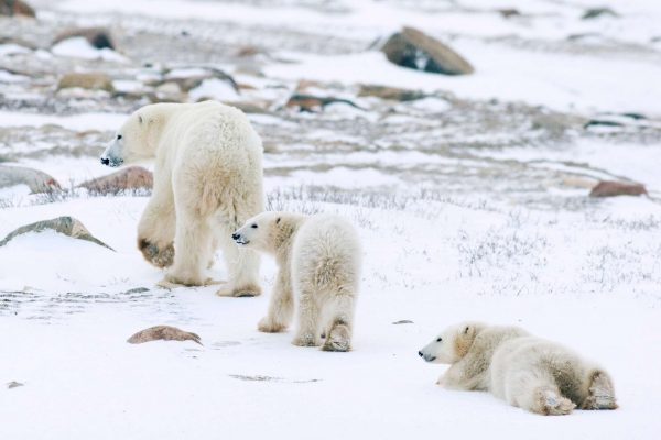 manitoba churchill polar bear family istk