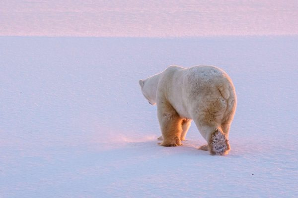 manitoba churchill polar bear walking on frozen hudson bay istk