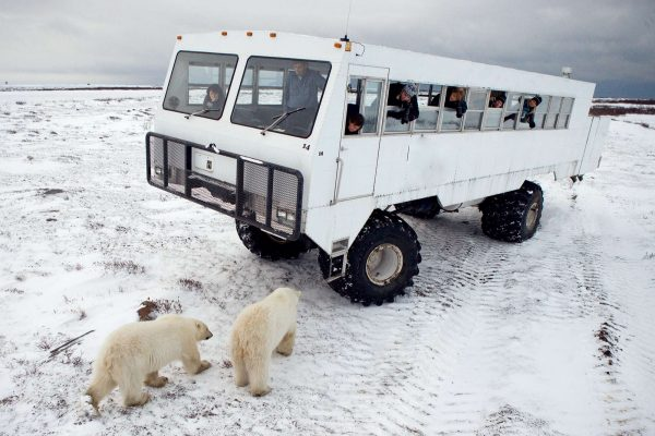 manitoba churchill watching polar bears from tundra buggy adstk