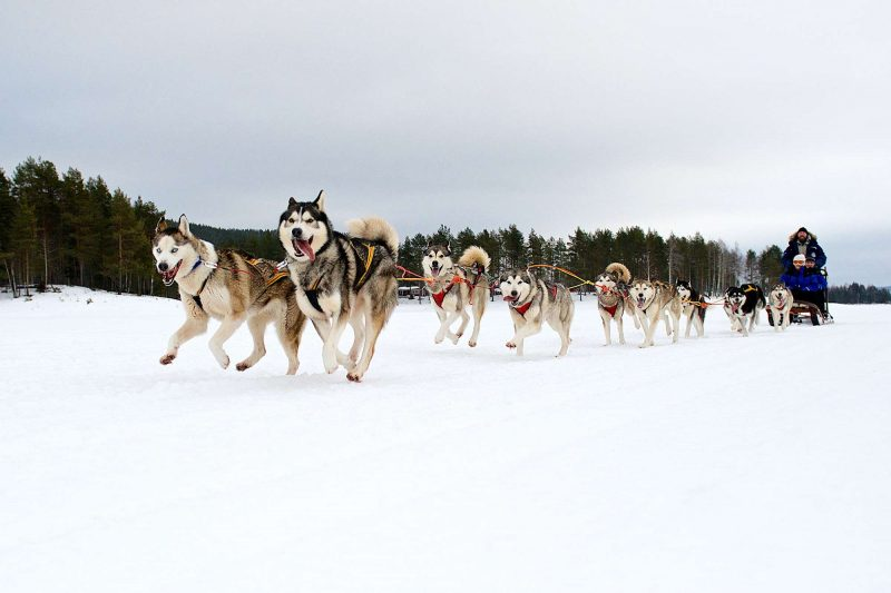 swedish lapland arctic retreat husky sledding on trail