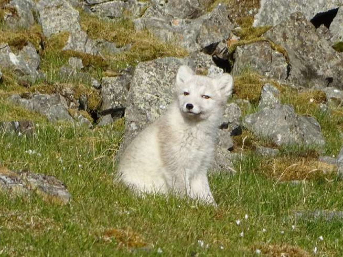 arctic fox in spitsbergen summer cp