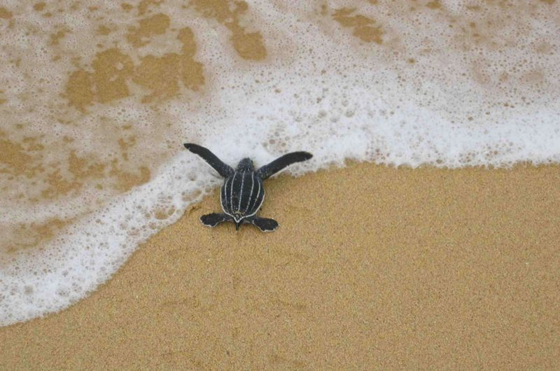 edu responsible travel baby turtle