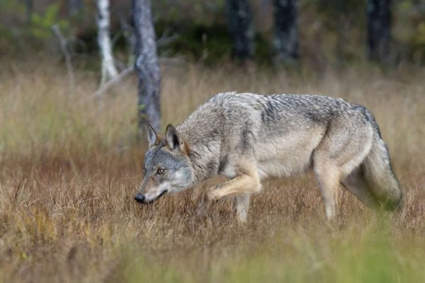 finalnd wolf on prowl as