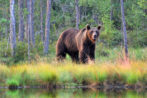 finland brown bear by water as