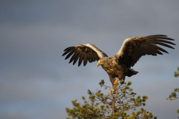 finland white tailed eagle as