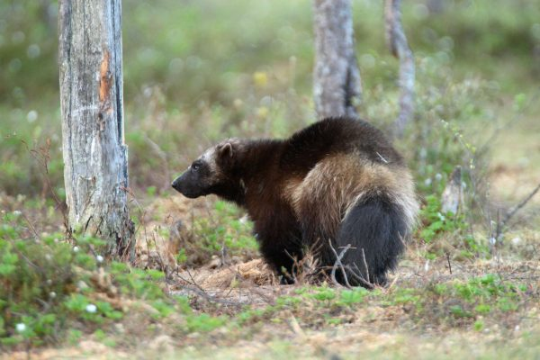 finland wolverine in forest as