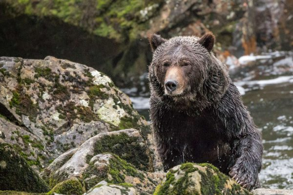 bristish columbia great bear rainforest wet grizzly crs