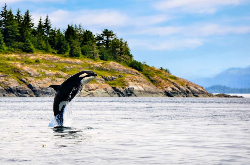 british columbia great bear rainforest orca breaching crs