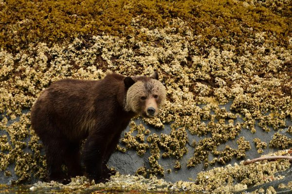 british columbia great bear rainforest pensive grizzly crs