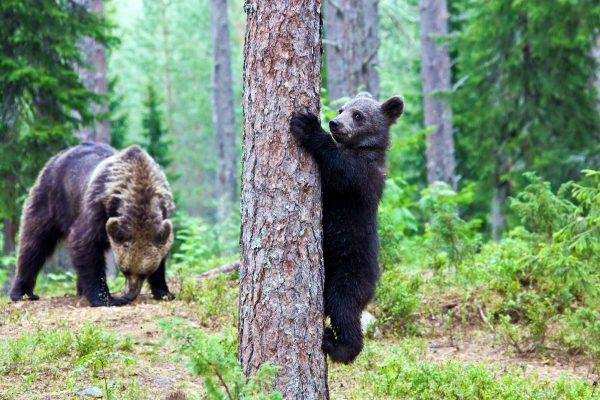 eastern finland brown bear and cub istk
