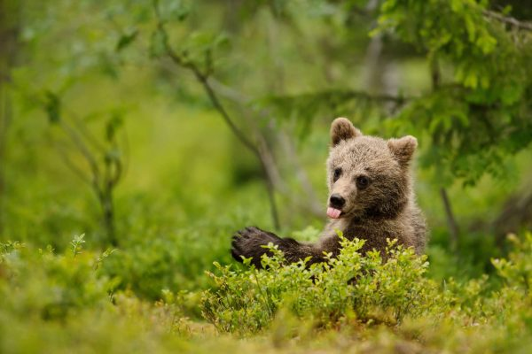 eastern finland brown bear cub tongue out istk