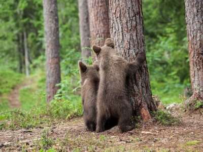 eastern finland brown bear cubs behind tree istk
