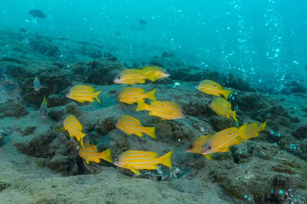 indonesia banda aceh pulau weh blue striped snapper over volcanic vent istk