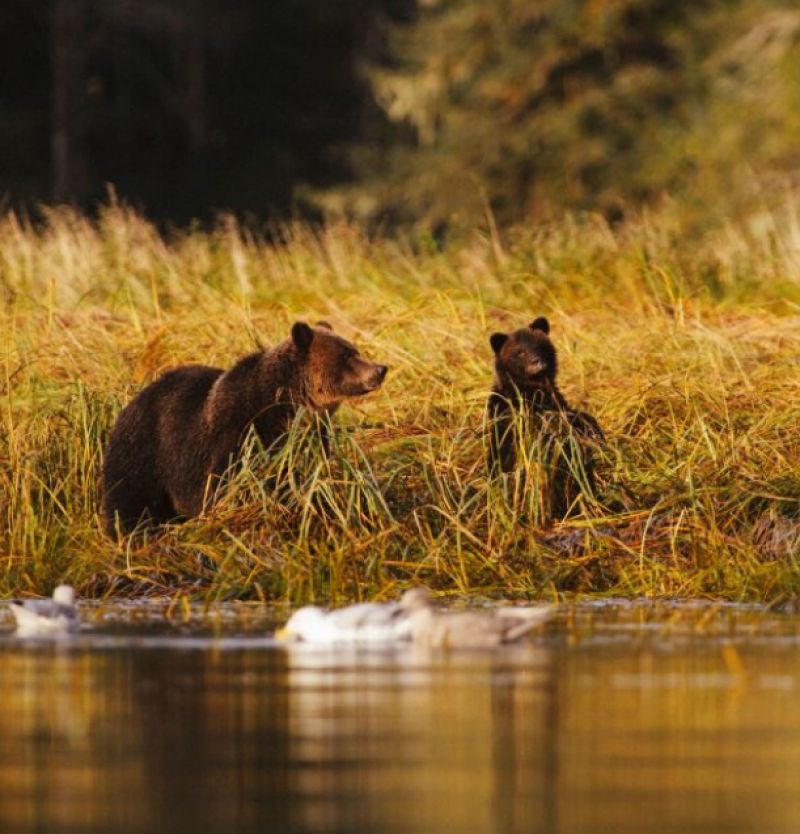 Bears by a river