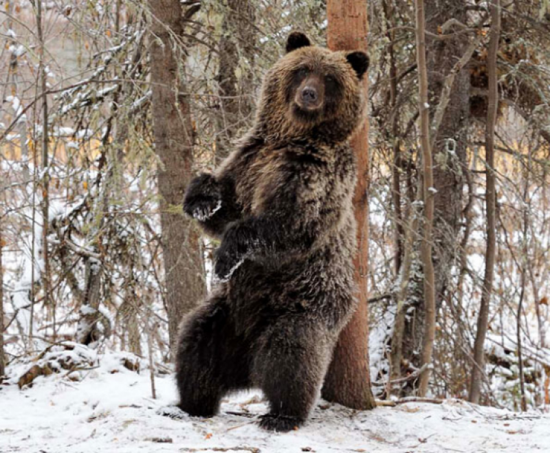 Bear scratching back