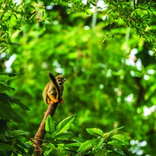 edu costa rica squirrel monkey in rainforest