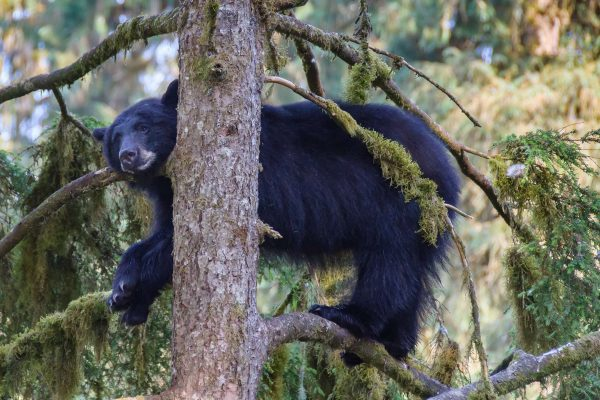 alaska black bear in tree tongass nat forest istk
