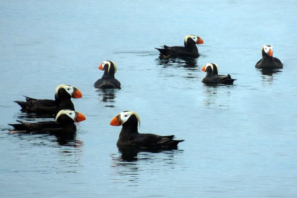 alaska inside passage tufted puffins istk