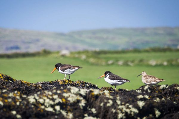 ireland beara peninsula oystercatchers and curlew istk