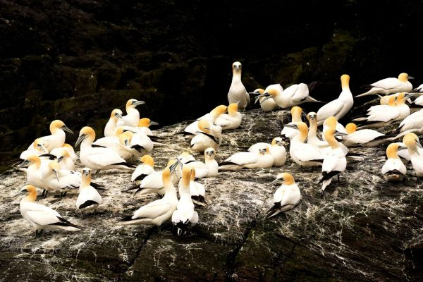 ireland gannets on little skellig istk