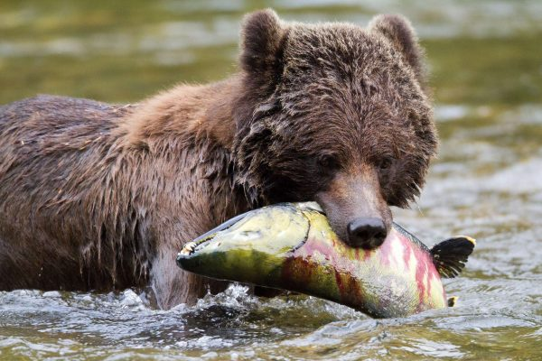 british columbia great bear lodge bear with salmon