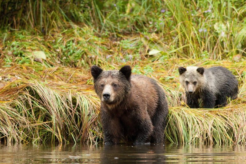 british columbia great bear lodge young bears