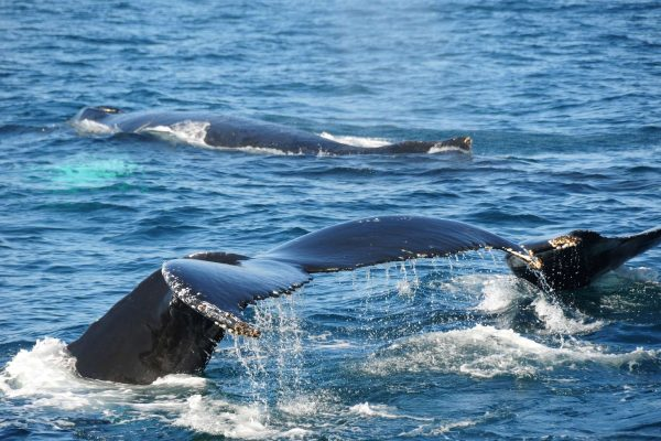 canada bay of fundy humpback whales istk