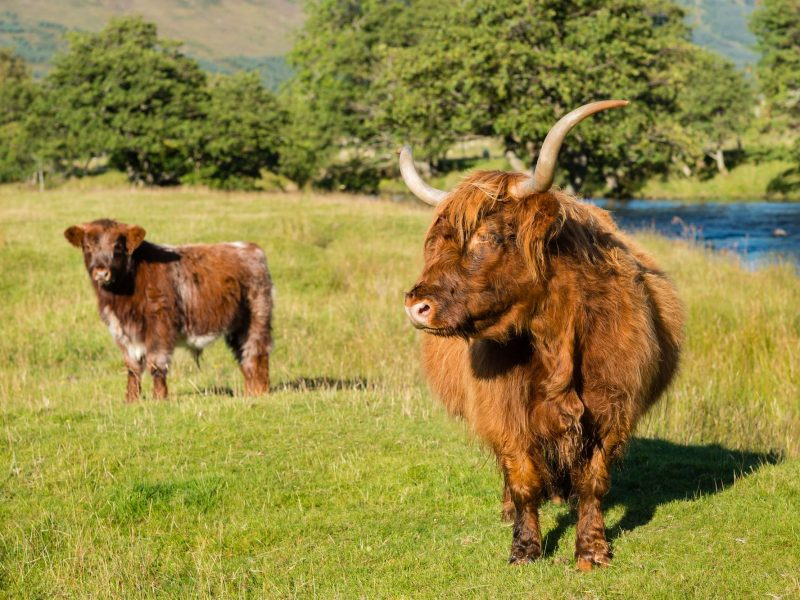 scotland highland cow and calf perthshire istk