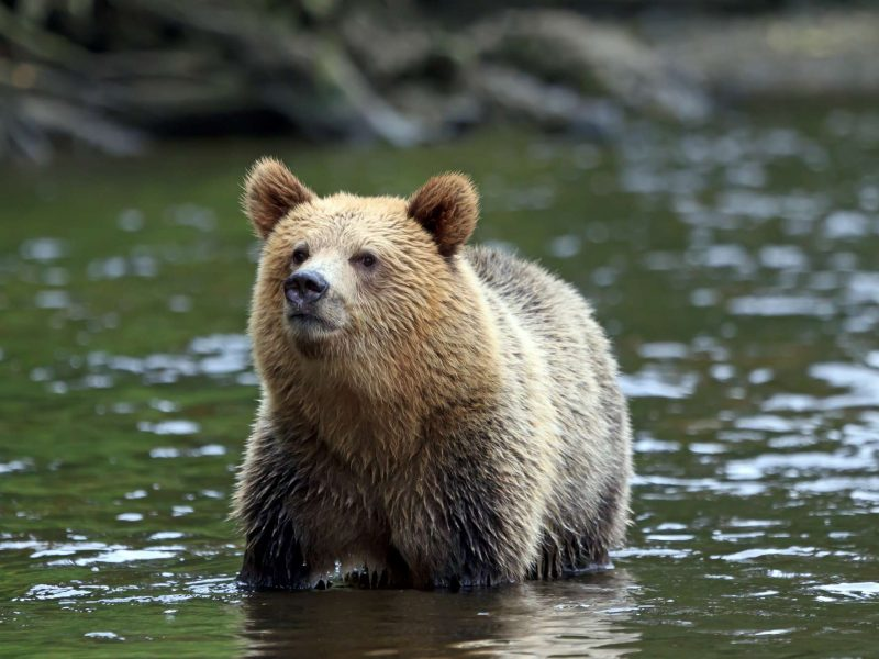 canada grizzly at knight inlet istk