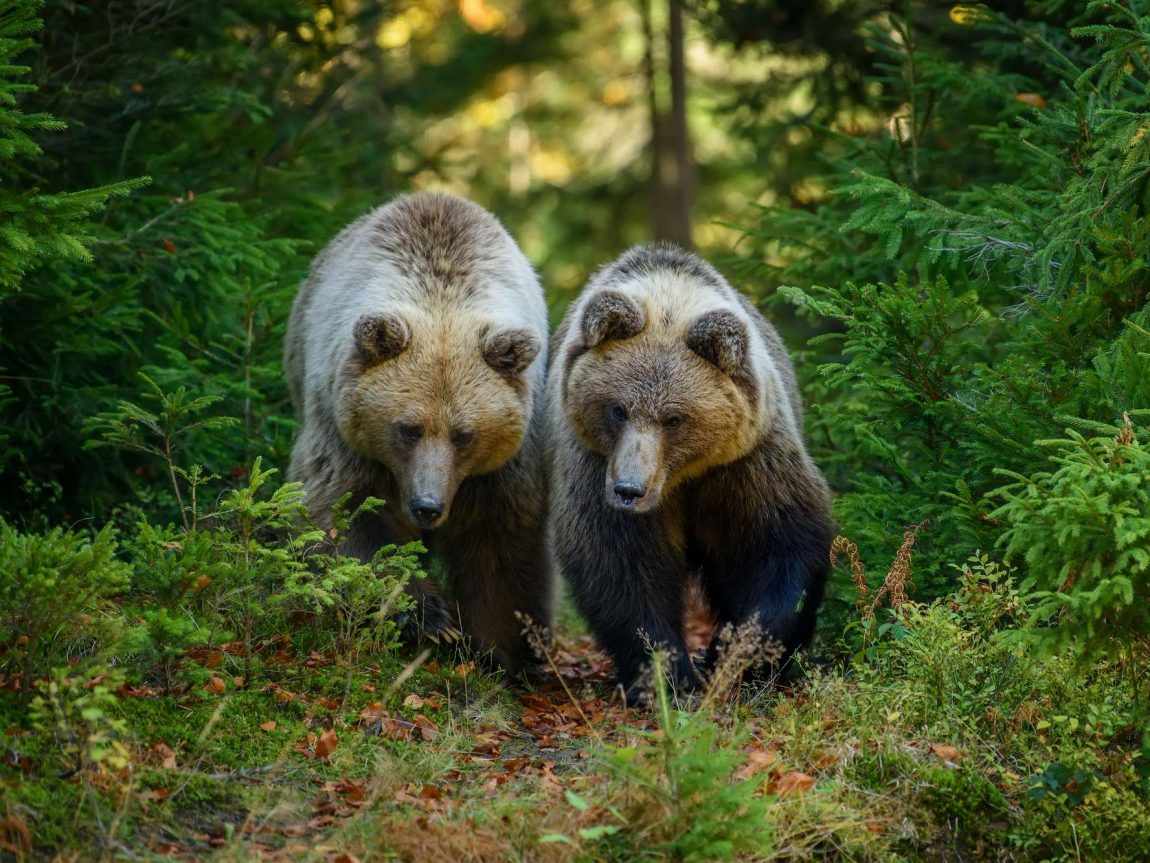 finland two large brown bears in forest istk